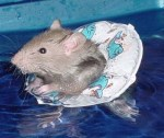 Rat-with-life-preserver1